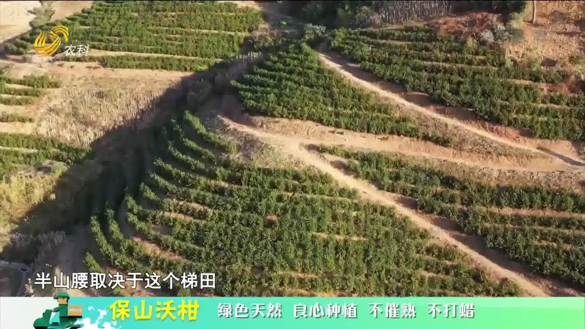 20210206《中国原产递》:保山沃柑