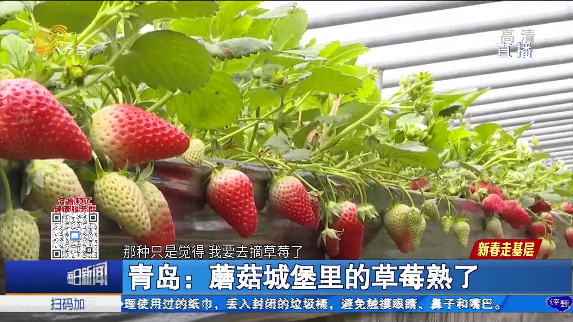 青岛:蘑菇城堡里的草莓熟了