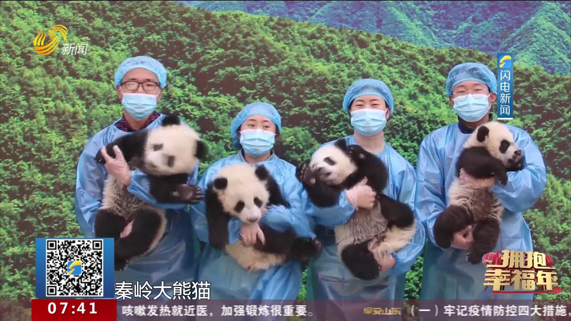 【拥抱幸福年】秦岭4只大熊猫宝宝集体亮相 向全国人民拜年