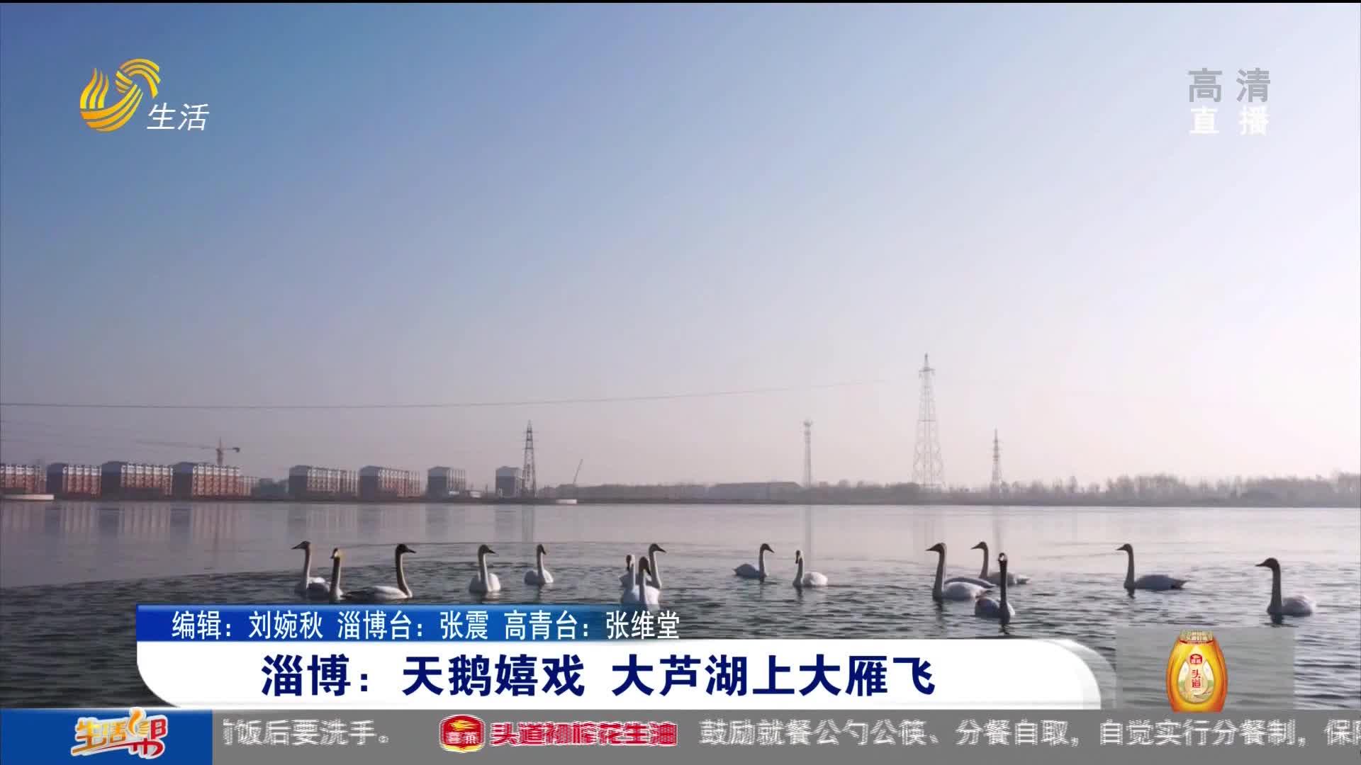 淄博:天鹅嬉戏 大芦湖上大雁飞