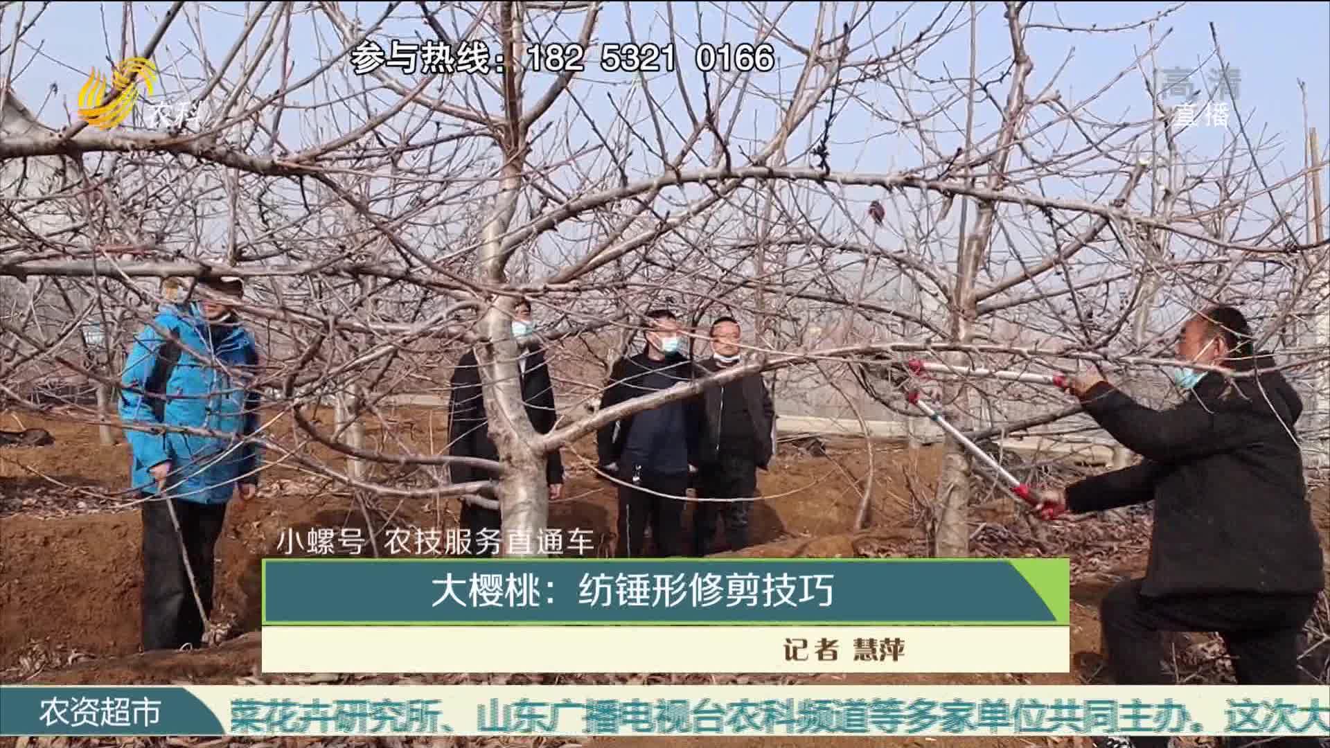 【小螺号·农技办事直通车】大樱桃:纺锤形修剪技巧