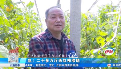 急!二十多万斤西红柿滞销