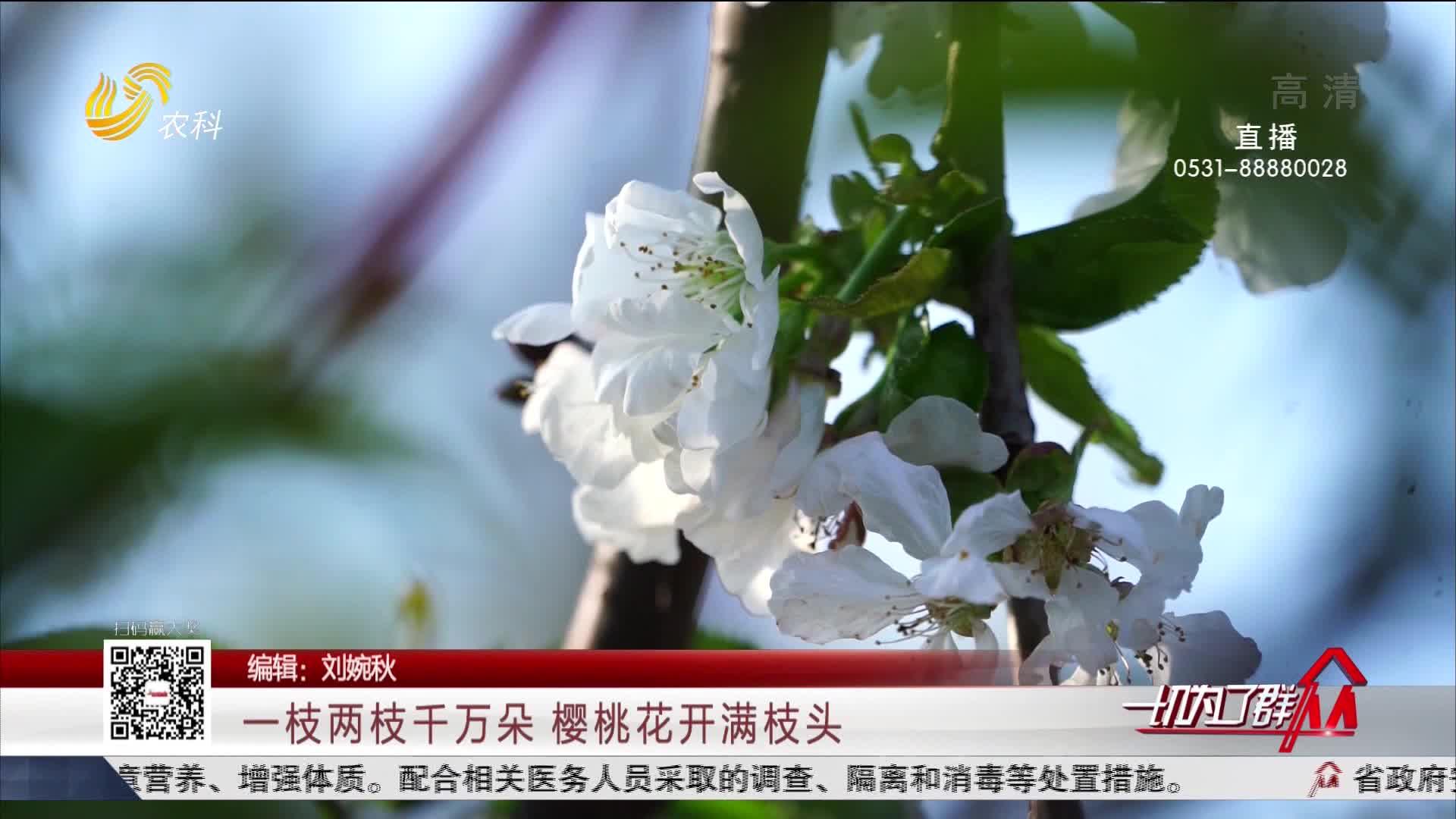 一枝两枝千万朵 樱桃花开满枝头