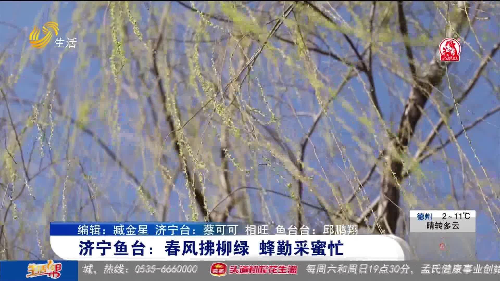 济宁鱼台:春风拂柳绿 蜂勤采蜜忙