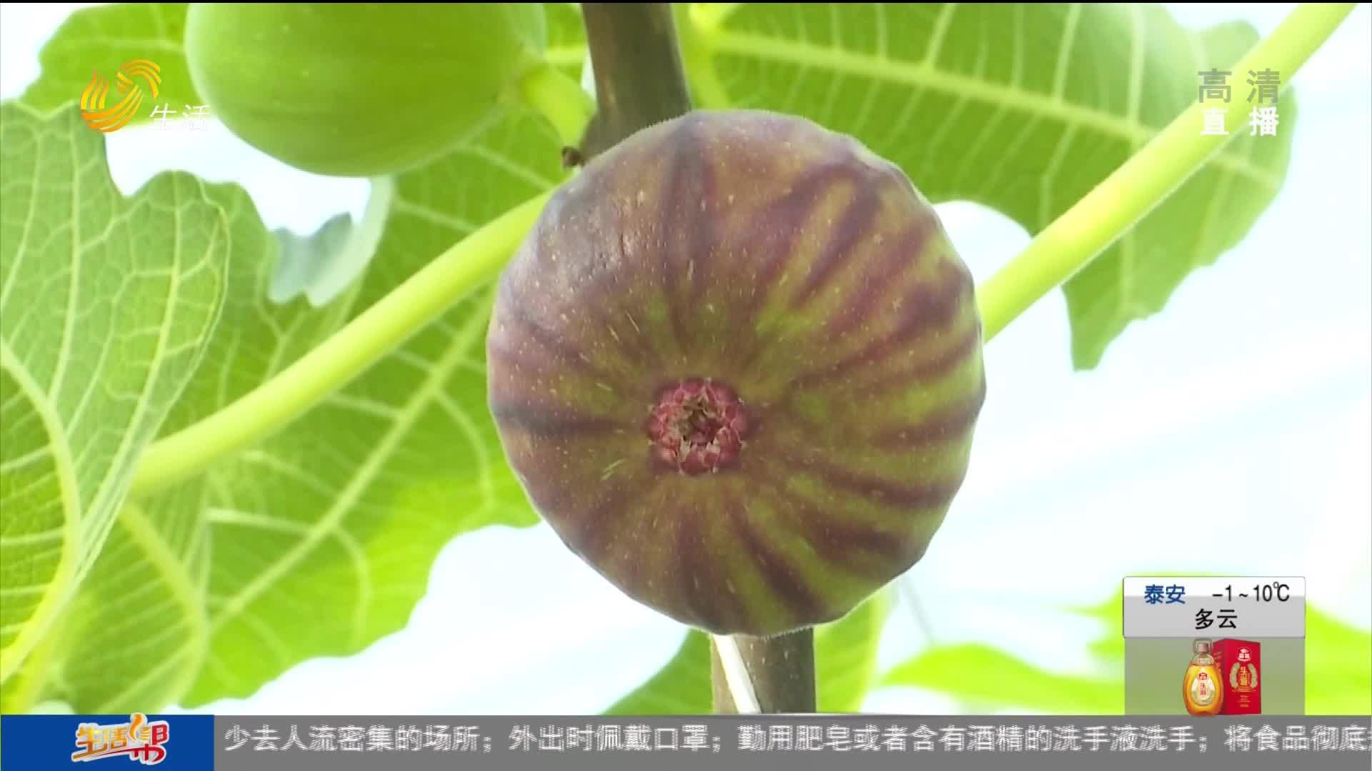 东营利津:新春枝丫满 无花果实红