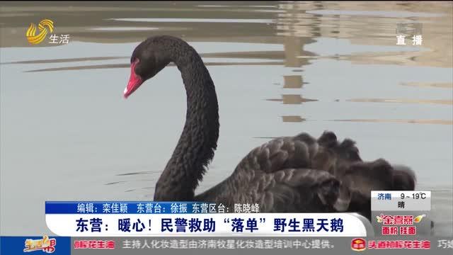 """东营:暖心!民警救助""""落单""""野生黑天鹅"""