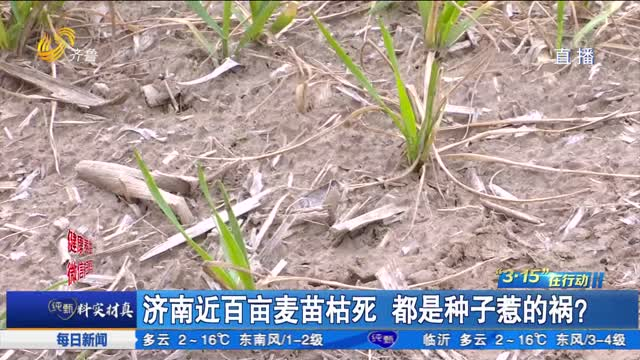 济南近百亩麦苗枯死 都是种子惹的祸?