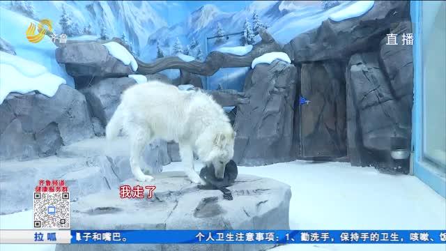 围观!人工繁育的北极狼崽长大了