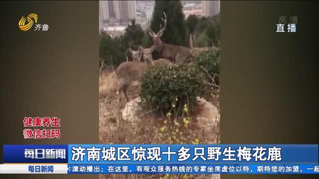 济南城区惊现十多只野生梅花鹿