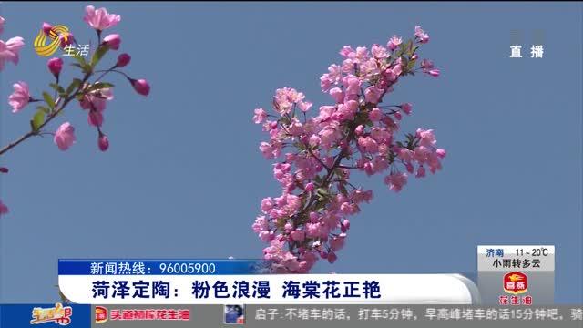 菏泽定陶:粉色浪漫 海棠花正艳