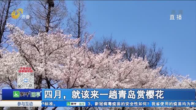 四月,就该来一趟青岛赏樱花