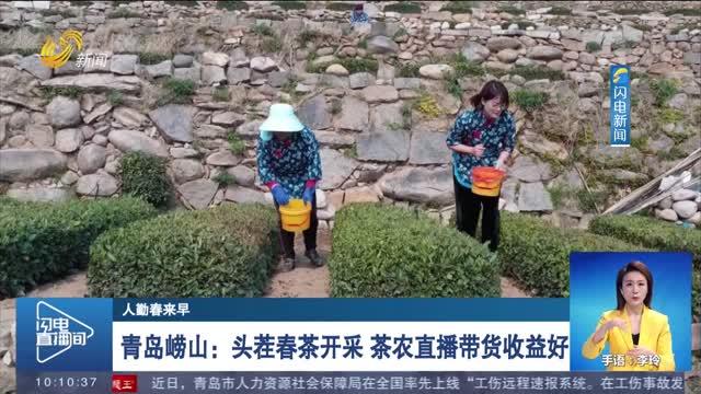 【人勤春来早】青岛崂山:头茬春茶开采 茶农直播带货收益好