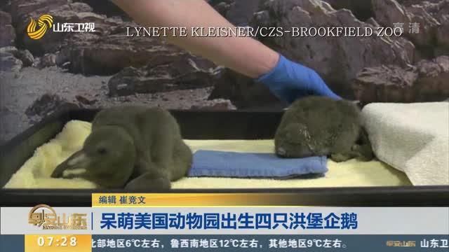 呆萌美国动物园出生四只洪堡企鹅