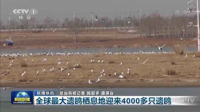 【联播快讯】全球最大遗鸥栖息地迎来4000多只遗鸥