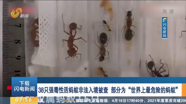"""38只强毒性活蚂蚁不法入境被查 部分为""""世界上最危险的蚂蚁"""""""