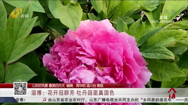 【山东好风景 最美四月天】淄博:花开冠群芳 牡丹园里真国色