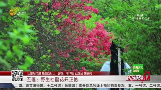 【山东好风景 最美四月天】五莲:野生杜鹃花开正艳