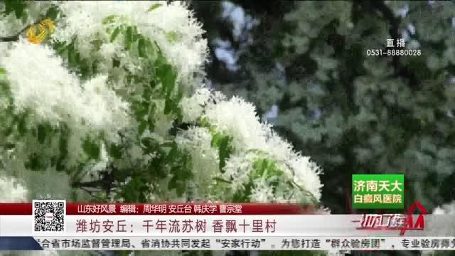 【山东好风景】潍坊安丘:千年流苏树香飘十里村