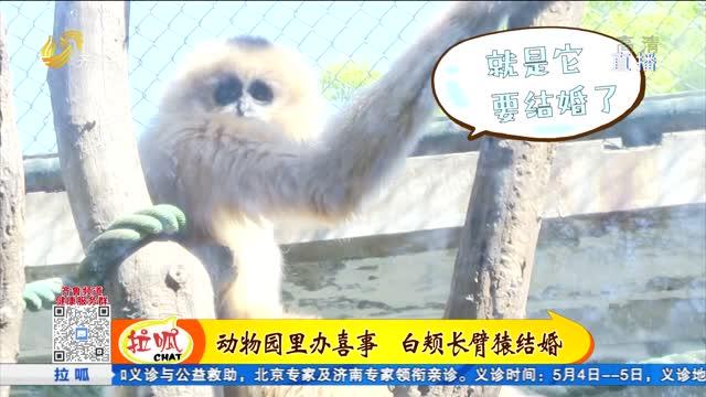济南:动物园里办喜事 白颊长臂猿喜结良缘
