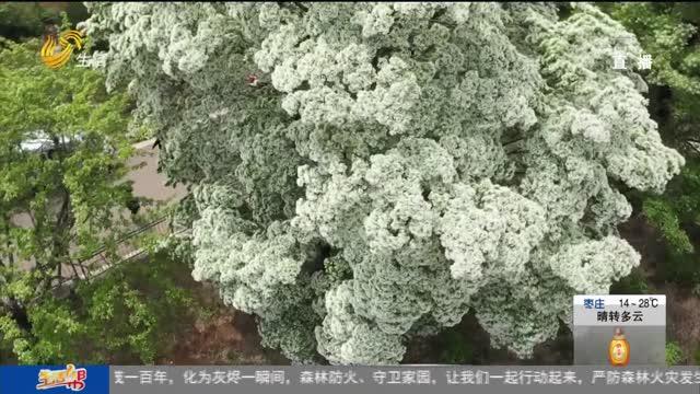 潍坊青州:绿荫捧雪 漫卷流苏