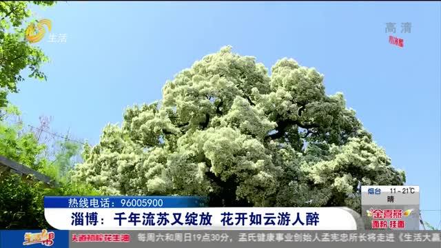 淄博:千年流苏又绽放 花开如云游人醉