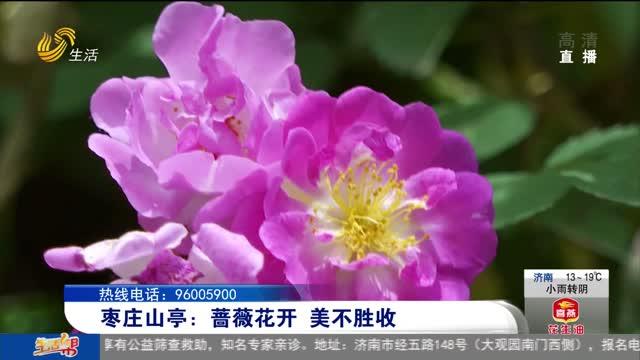 枣庄山亭:蔷薇花开 美不胜收