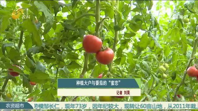"""种植大户与番茄的""""蜜恋"""""""