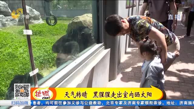 """有""""备""""而来的网红黑猩猩"""