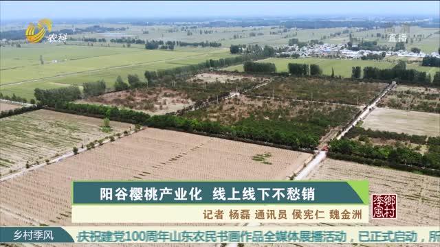 阳谷樱桃产业化 线上线下不愁销
