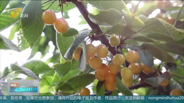 【夏季农业生产】樱桃红了 果农笑了