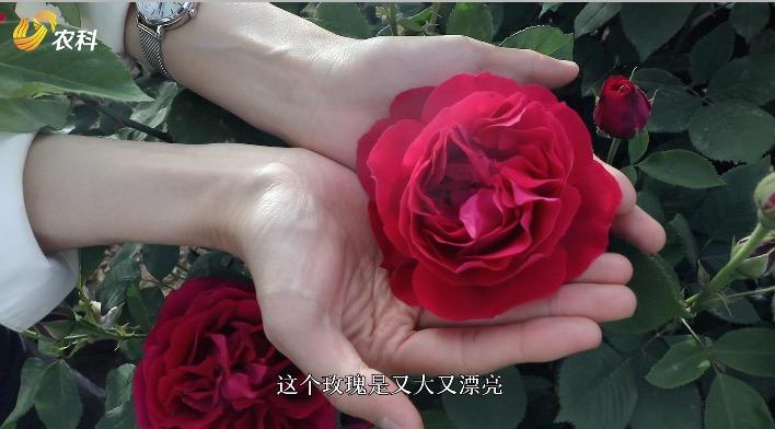 黄店玫瑰:美丽经济