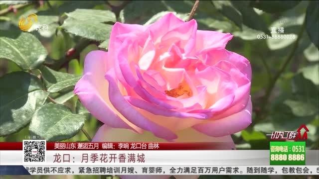 【美丽山东 邂逅五月】龙口:月季花开香满城