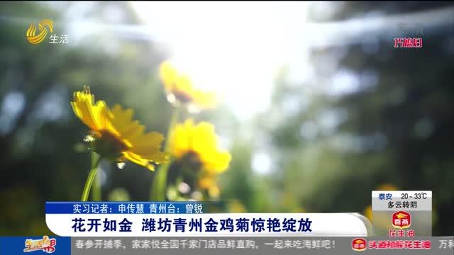 花开如金 潍坊青州金鸡菊惊艳绽放