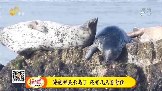 长岛:吃得好住得好 过路客变常住户 海豹不走了