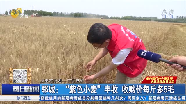 """郓城:""""紫色小麦""""丰收 收购价每斤多5毛"""