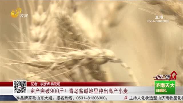 亩产突破900斤!青岛盐碱地里种出高产小麦