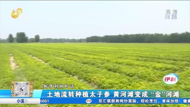 """土地流转种植太子参 黄河滩变成""""金""""河滩"""