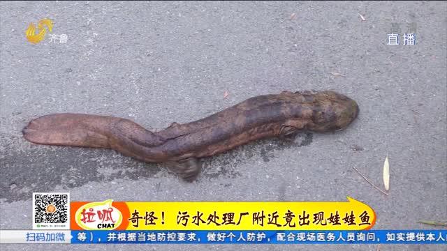 淄博:污水处理厂区惊现娃娃鱼