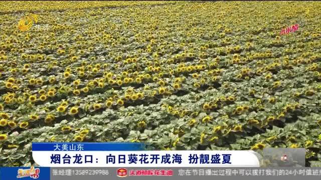 【大美山东】烟台龙口:向日葵花开成海 扮靓盛夏