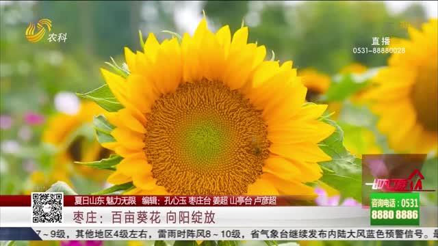 【夏日山东 魅力无限】枣庄:百亩葵花 向阳绽放