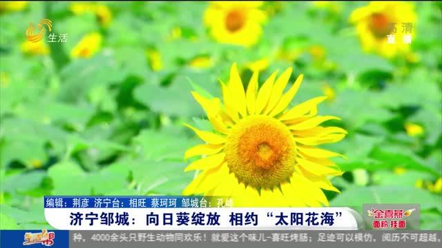 """济宁邹城:向日葵绽放 相约""""太阳花海"""""""