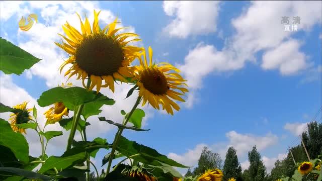 濟寧鄒城:百畝向日葵盛開