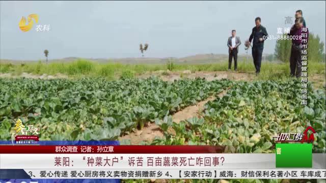 """【群众调查】莱阳:""""种菜大户""""诉苦 百亩蔬菜死亡咋回事?"""