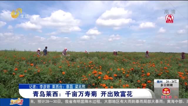 青岛莱西:千亩万寿菊 开出致富花