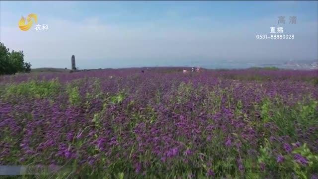 【大美山东】烟台蓬莱:浪漫紫色花海 令人陶醉