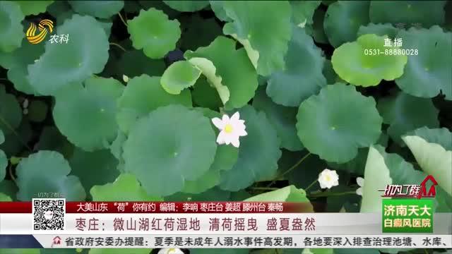 枣庄:微山湖红荷湿地 清荷摇曳 盛夏盎然