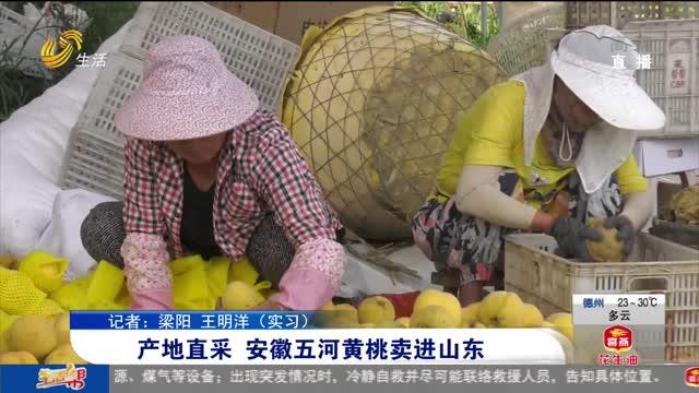 产地直采 安徽五河黄桃卖进山东