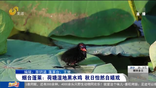 烟台蓬莱:荷塘湿地黑水鸡 秋日怡然自嬉戏