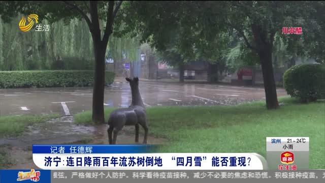 """济宁:连日降雨百年流苏树倒地 """"四月雪""""能否重现?"""