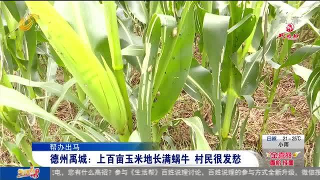 【帮办出马】德州禹城:上百亩玉米地长满蜗牛 村民很发愁